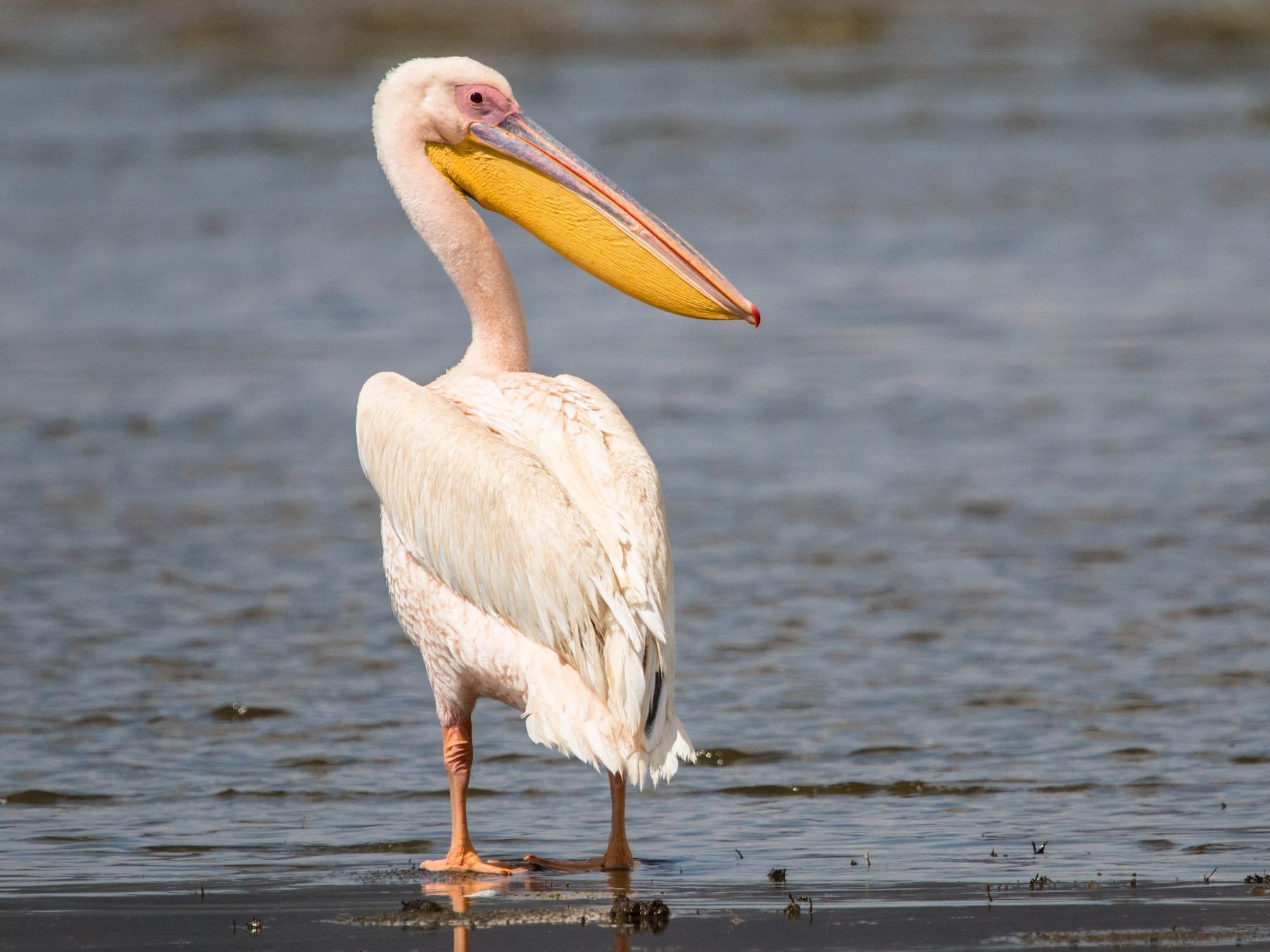 Great White Pelican - Kevin Vande Vusse
