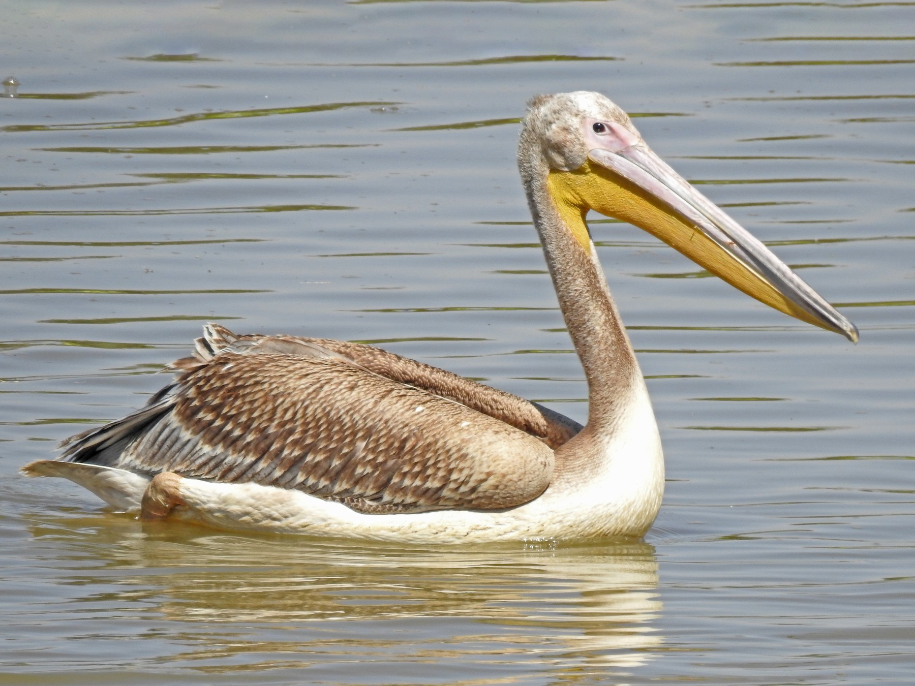 Great White Pelican - bob butler