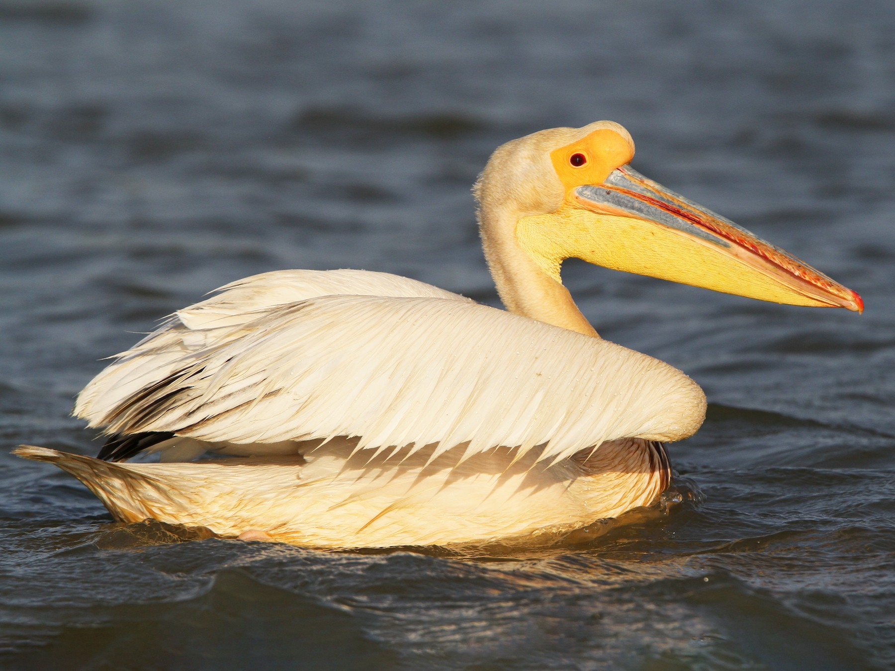Great White Pelican - Christoph Moning