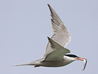 - White-cheeked Tern