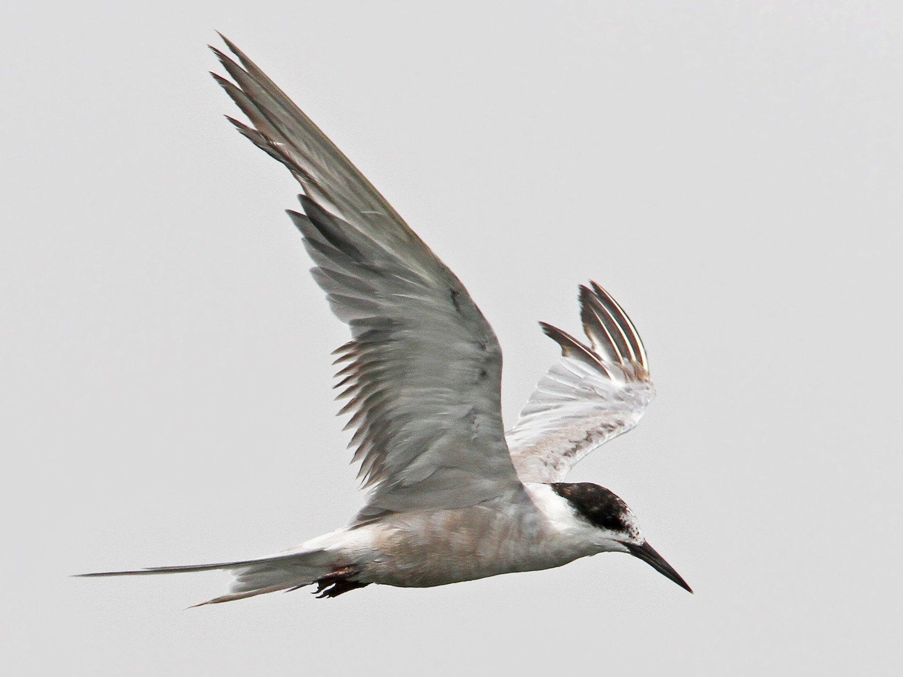 White-cheeked Tern - Christoph Moning