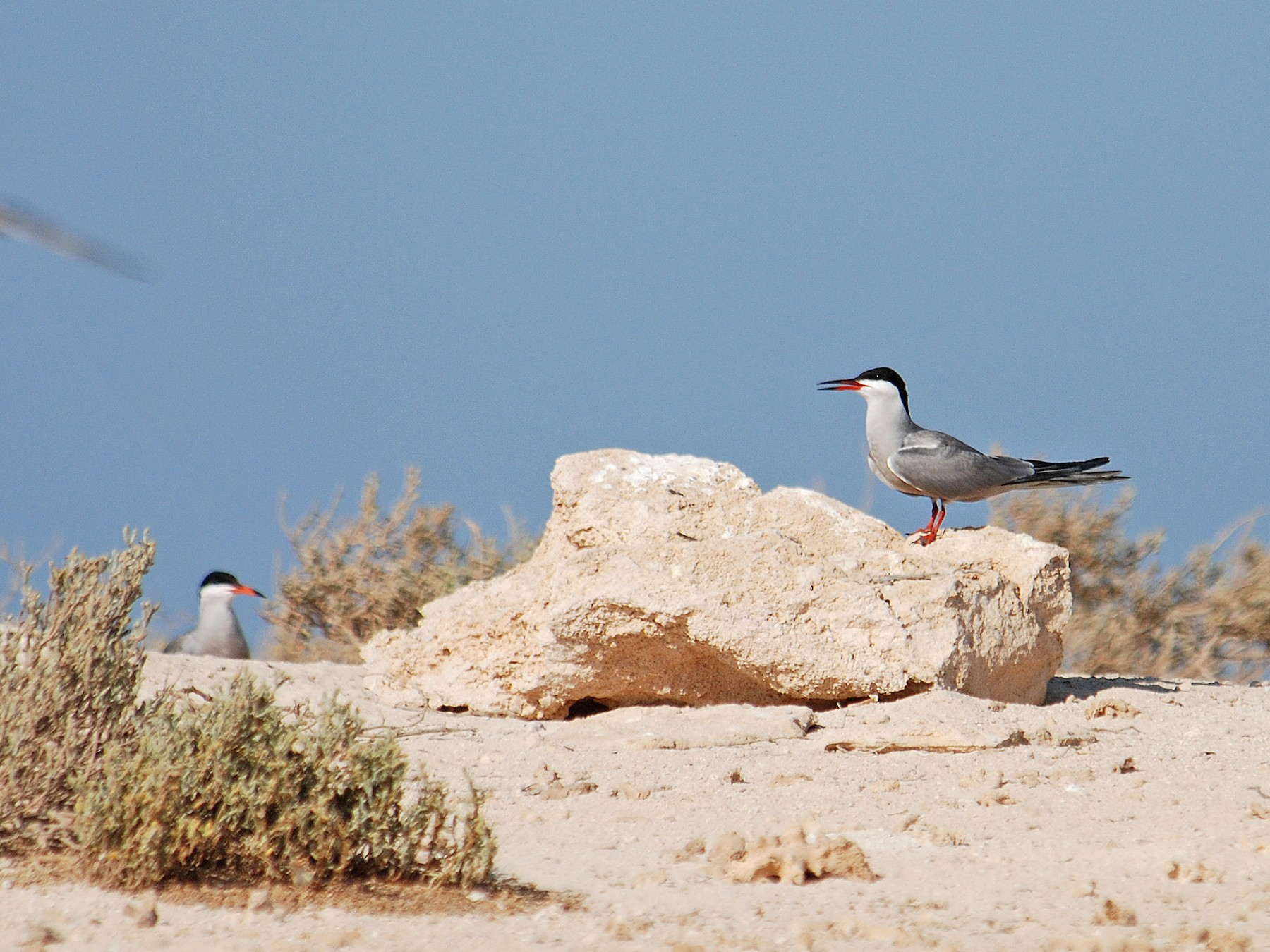 White-cheeked Tern - Ray Scally