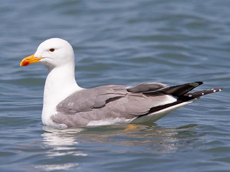 Armenian Gull - Yann Kolbeinsson
