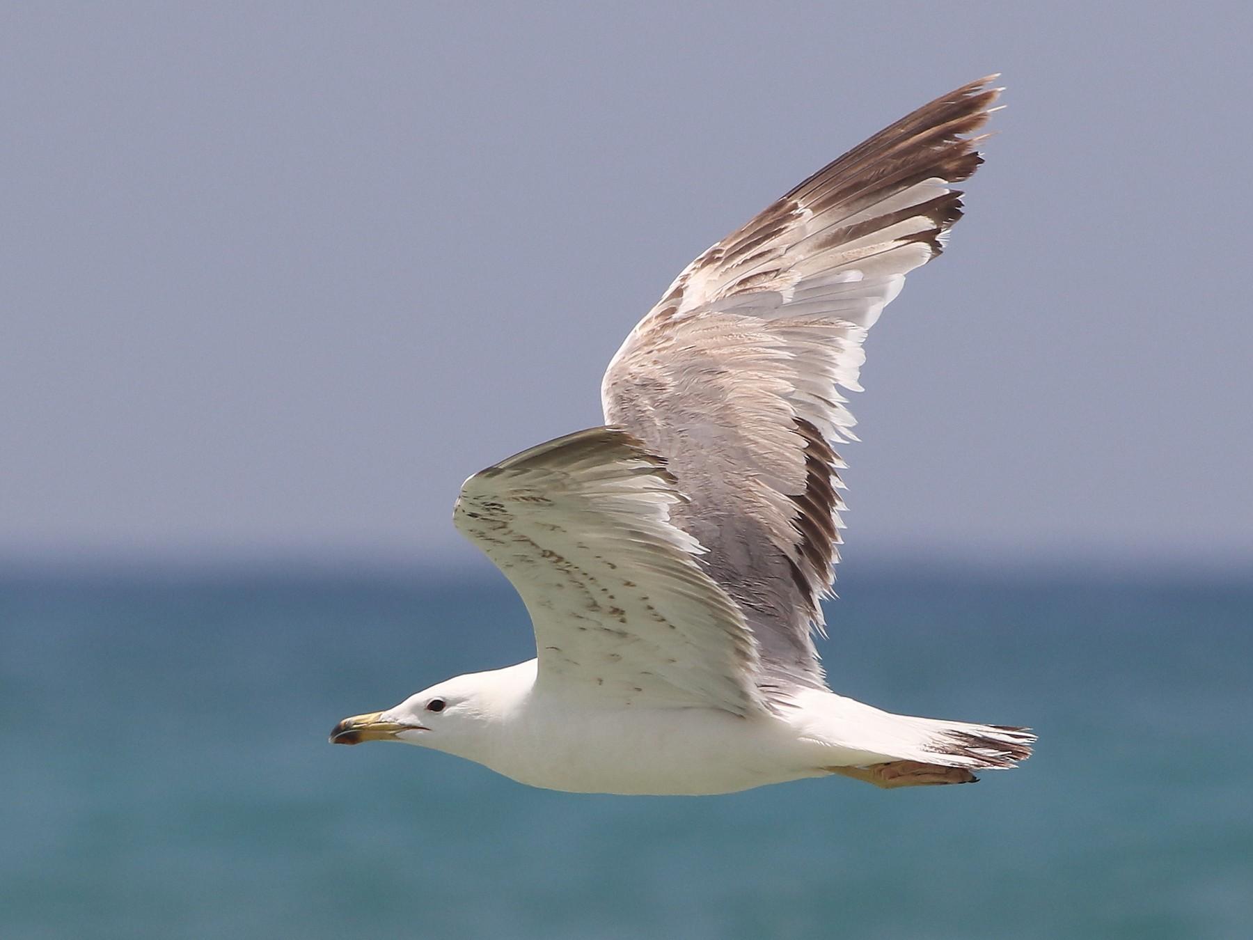 Armenian Gull - Ohad Sherer