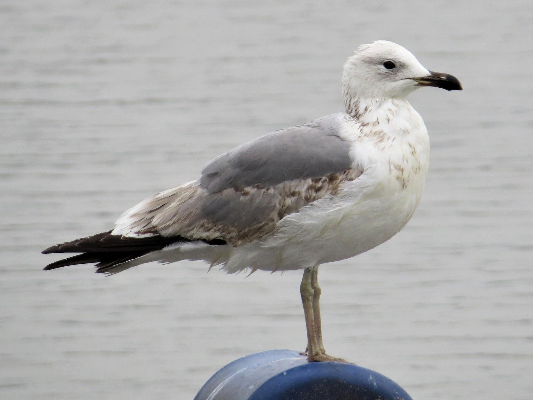 Armenian Gull - Daniel Melamed