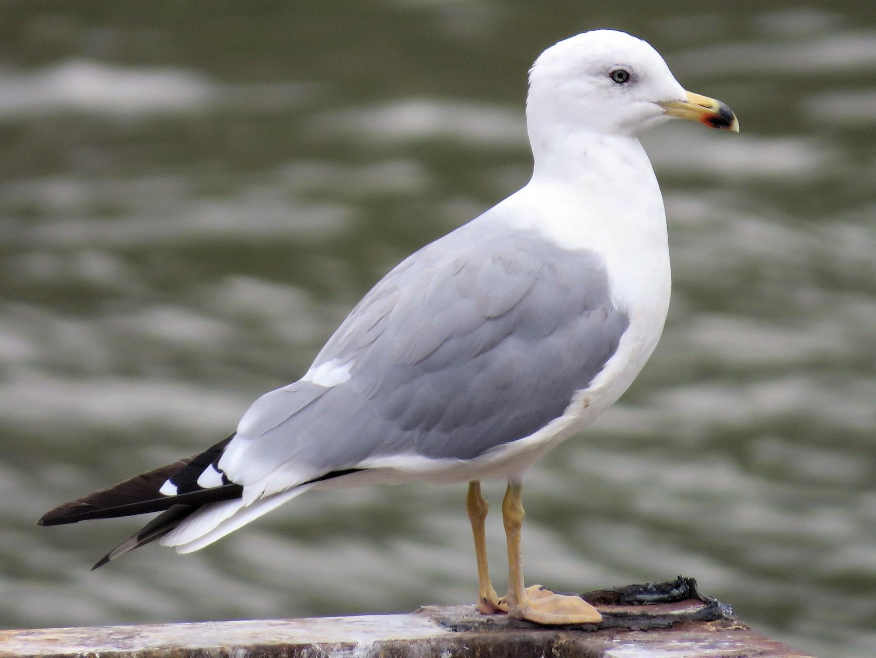 Armenian Gull - Hugo Foxonet