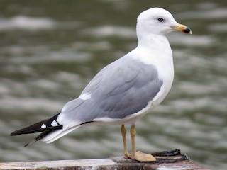 - Armenian Gull