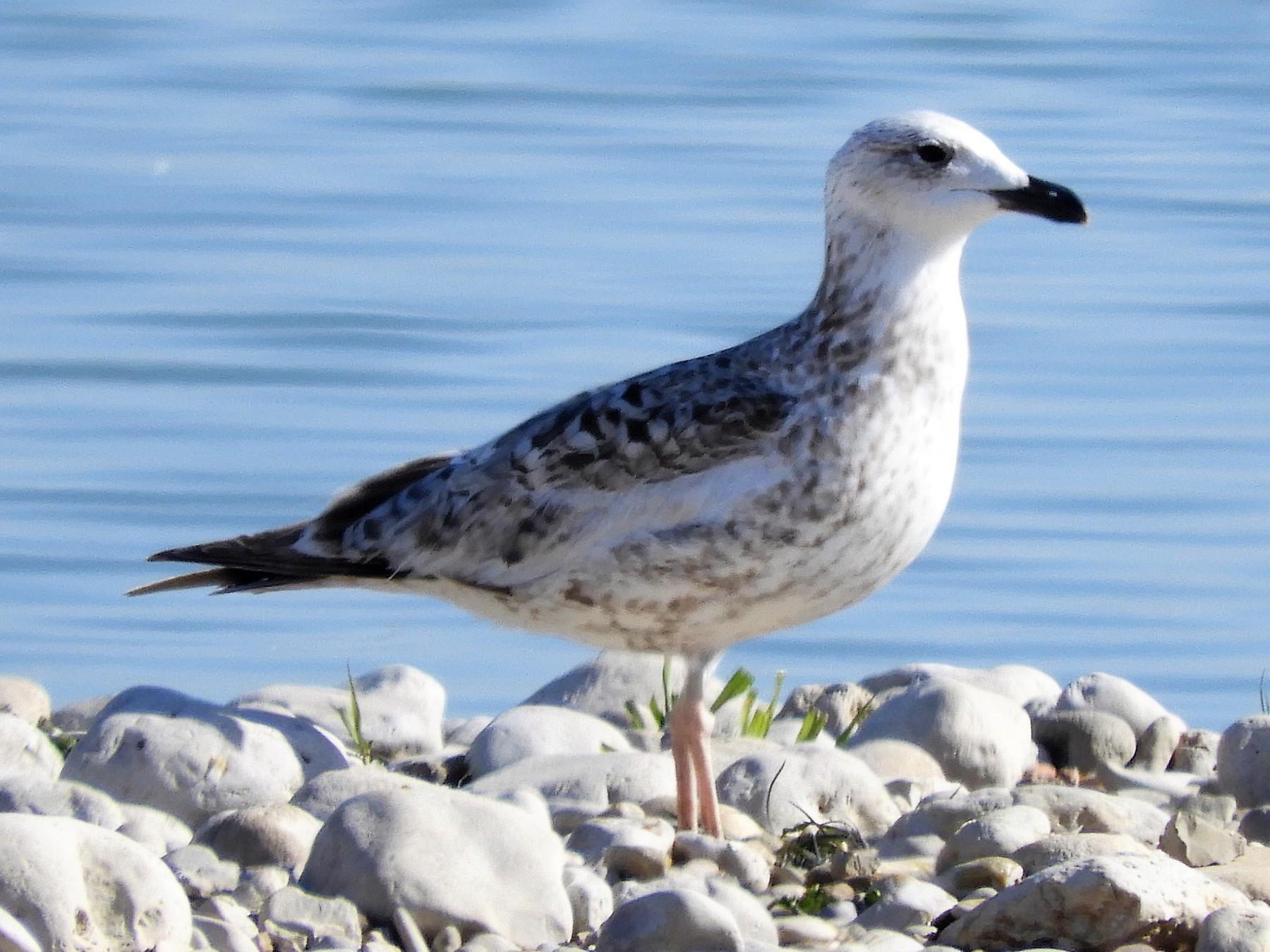Armenian Gull - Jukka Perttu