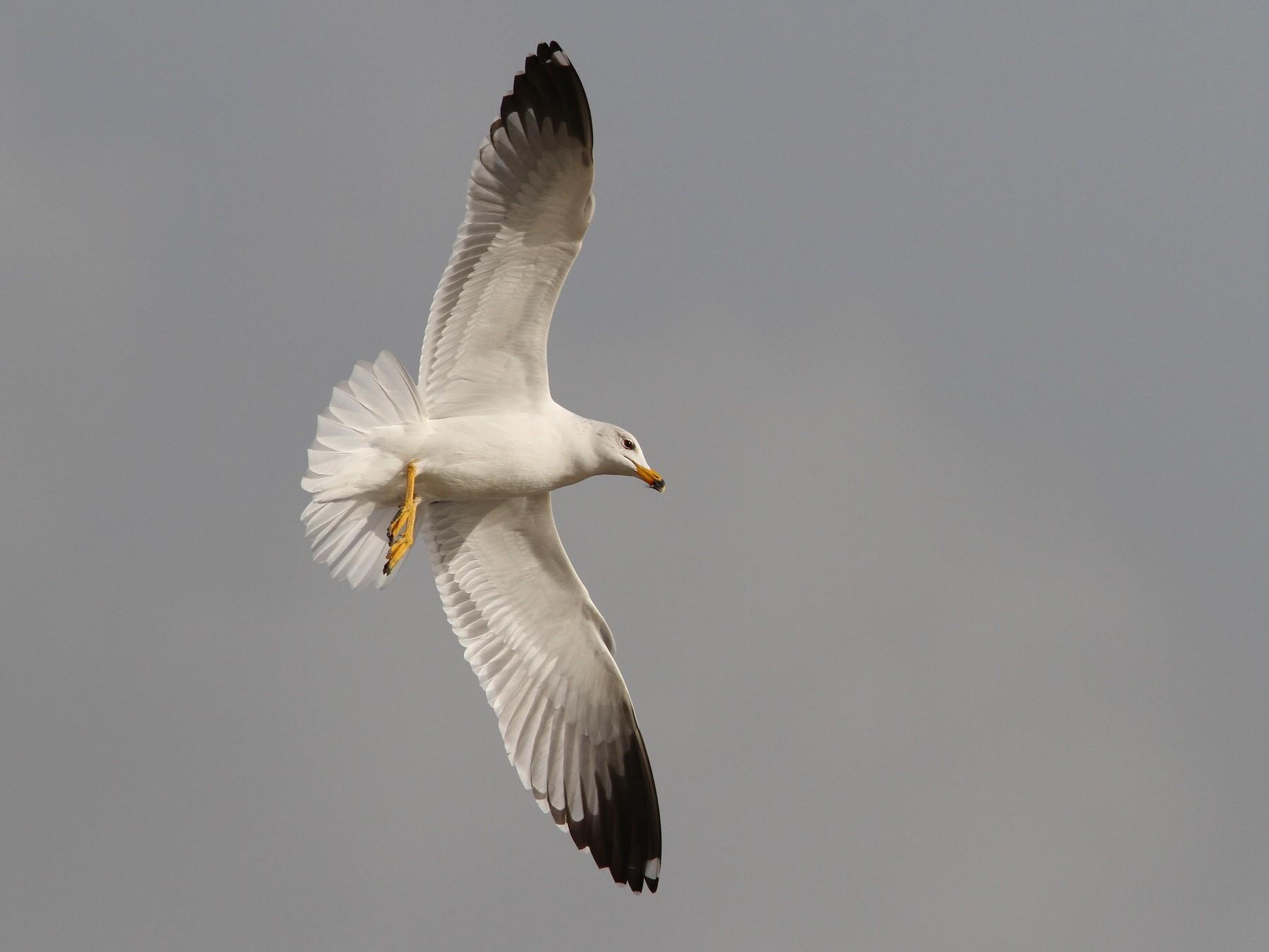 Armenian Gull - Christoph Moning