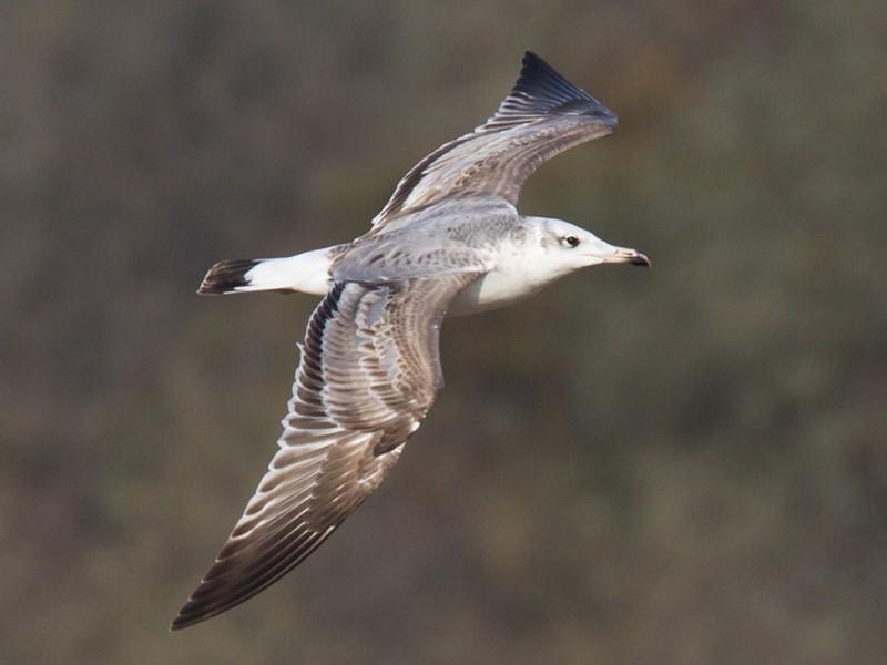 Pallas's Gull - Ric Else
