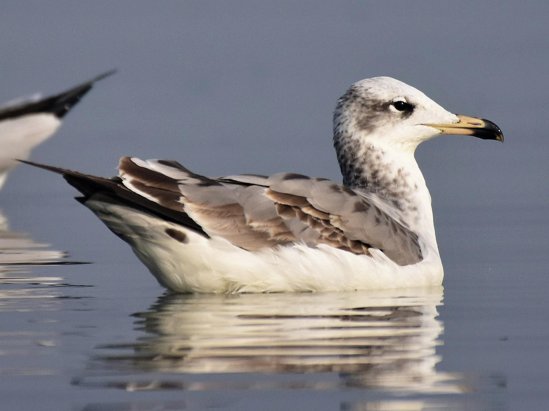Pallas's Gull - AVINASH SHARMA
