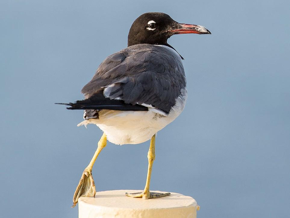 White-eyed Gull - www.aladdin .st