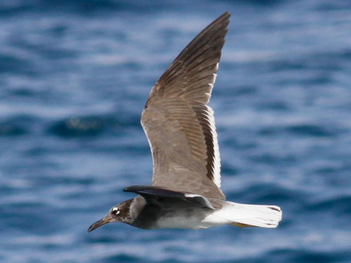 White-eyed Gull - Anton Liebermann