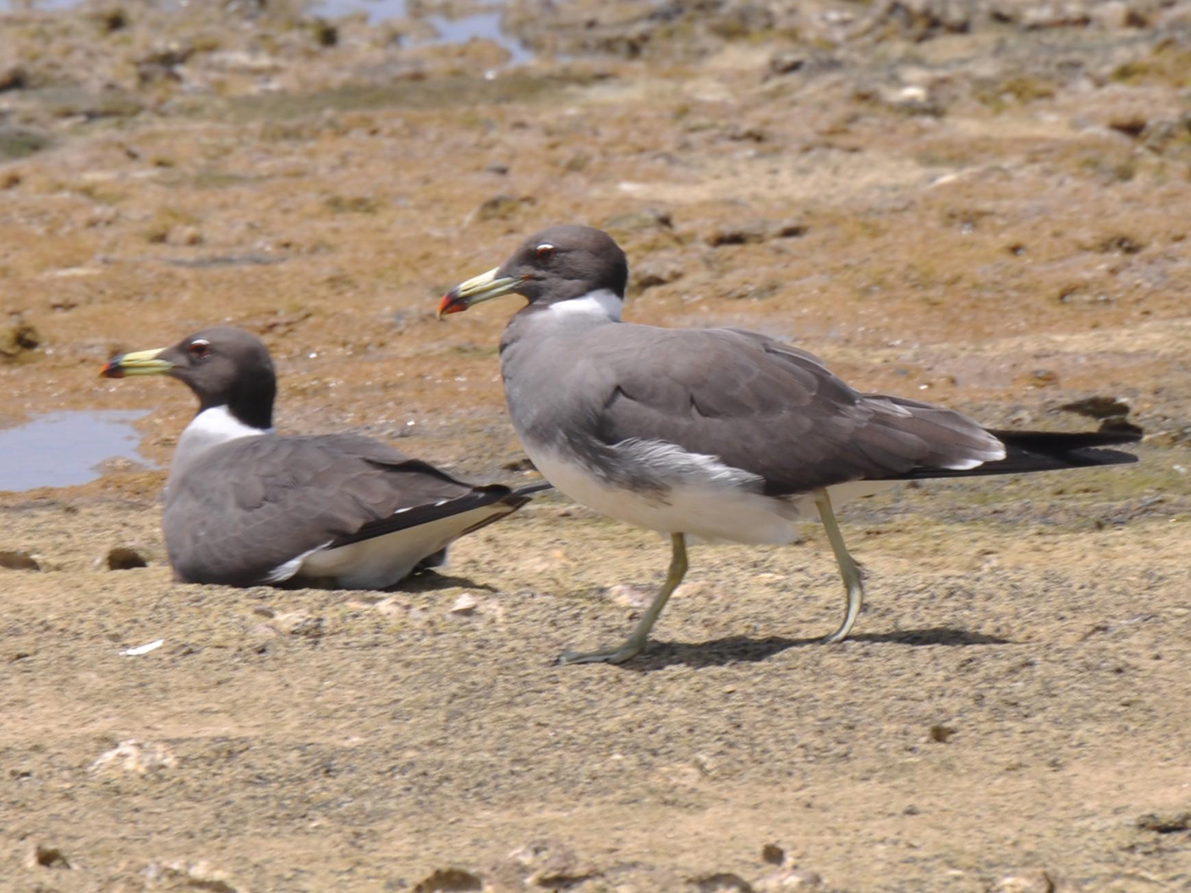 White-eyed Gull - John Tully