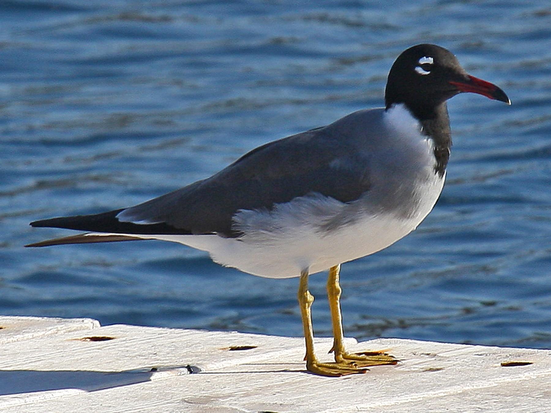 White-eyed Gull - James Kennerley 🦄