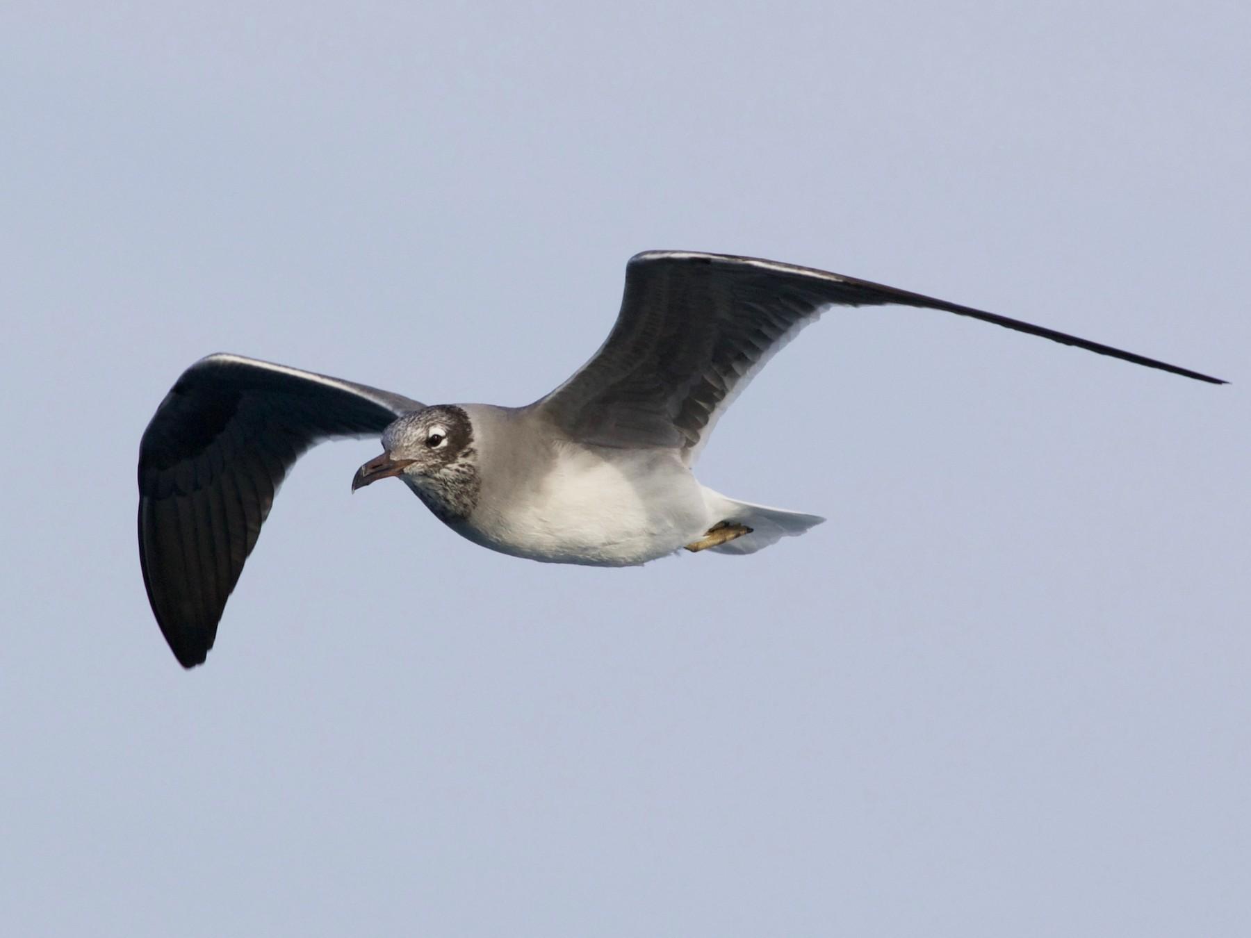 White-eyed Gull - Liam Ragan