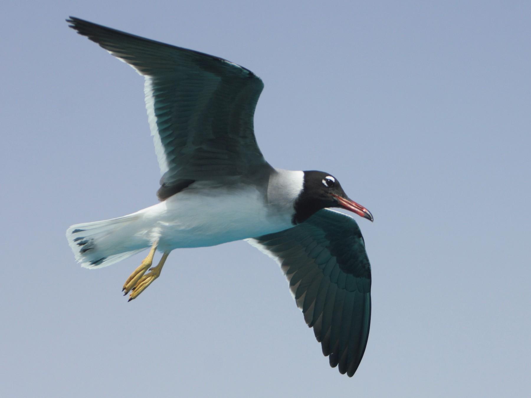White-eyed Gull - Pedro Cardia
