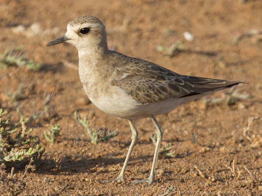 Caspian Plover - Bruce Ward-Smith