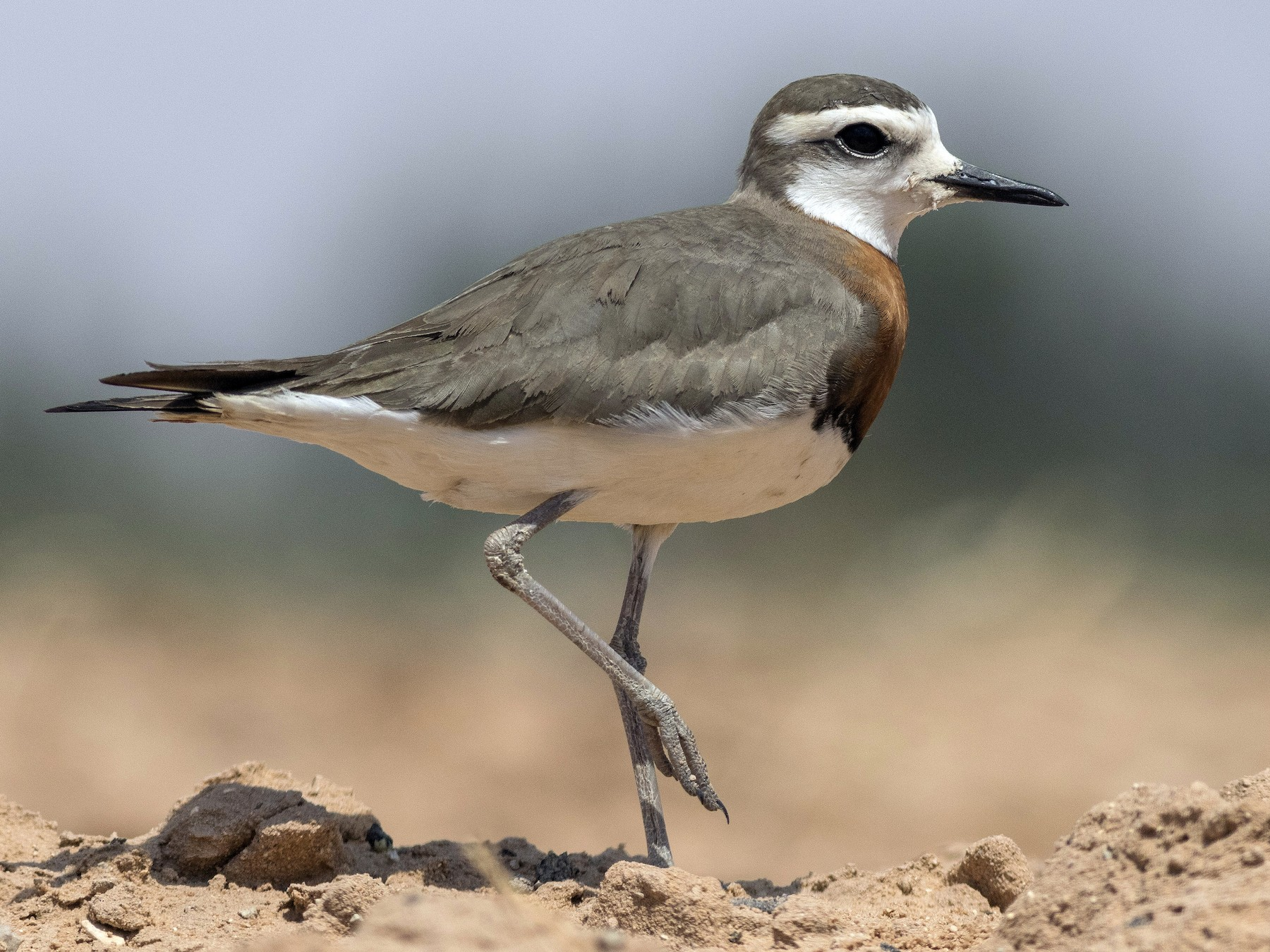 Caspian Plover - Jacob Drucker