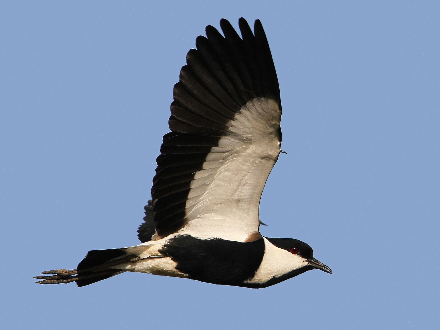 Spur-winged Lapwing - Christoph Moning