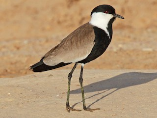- Spur-winged Lapwing