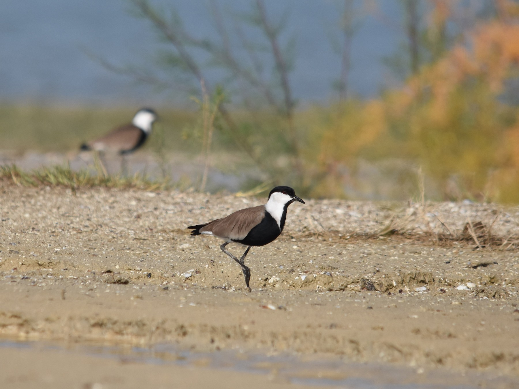 Spur-winged Lapwing - Giora Leitner