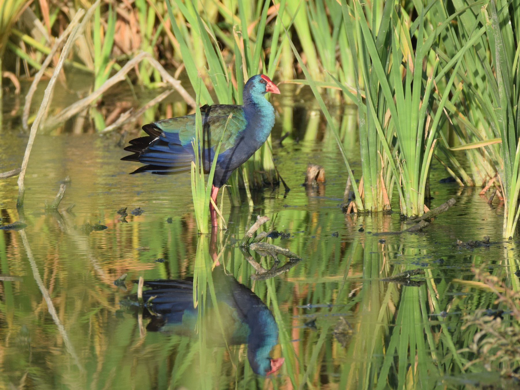 African Swamphen - Ryne Rutherford