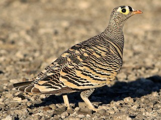 - Lichtenstein's Sandgrouse