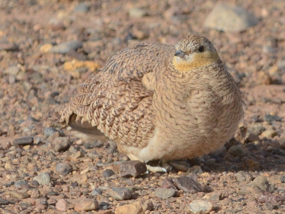 Crowned Sandgrouse - Cathy Pasterczyk