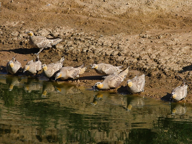 Spotted Sandgrouse - Eric VanderWerf