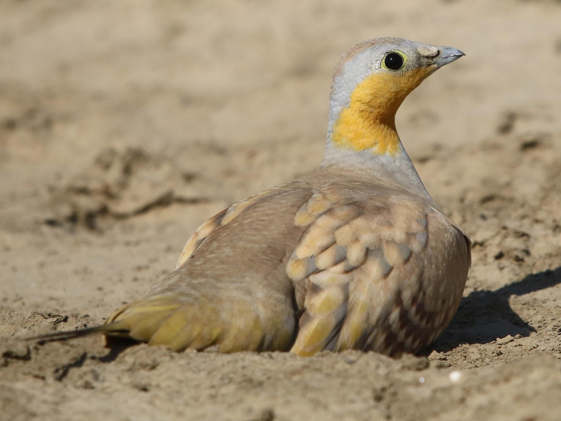 Spotted Sandgrouse - Bhaarat Vyas