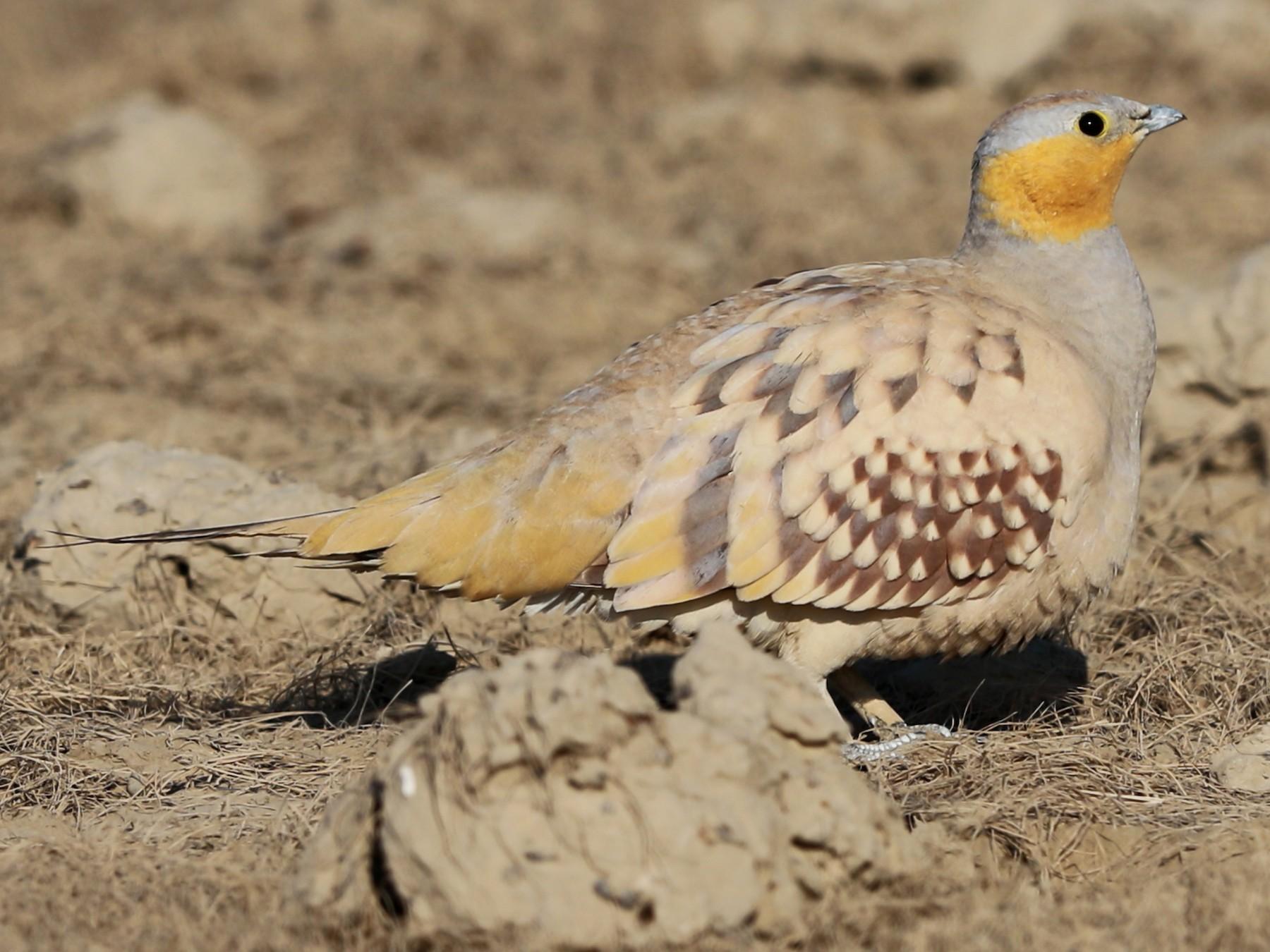 Spotted Sandgrouse - Gaurang Bagda