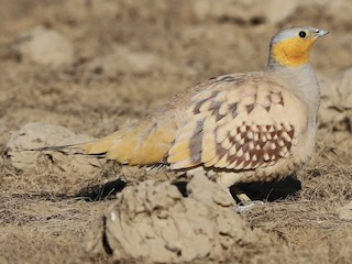 - Spotted Sandgrouse