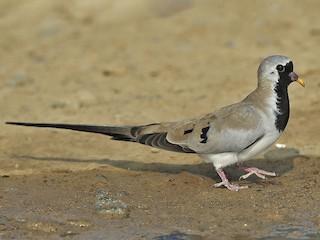 - Namaqua Dove