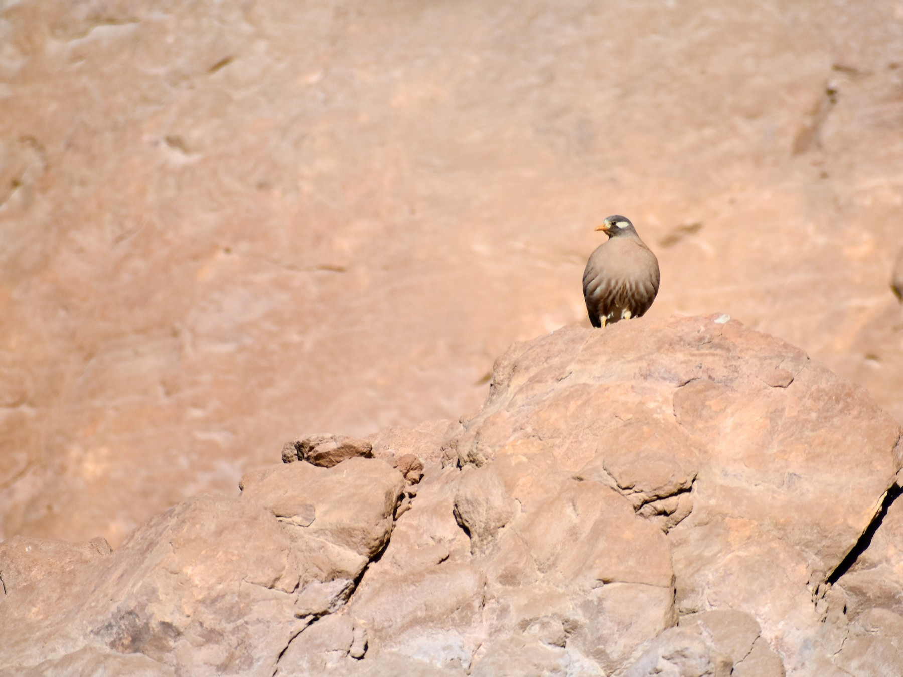 Sand Partridge - Ky Clare