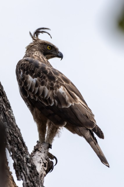 Changeable Hawk-Eagle (Crested)