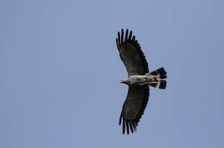 - African Harrier-Hawk