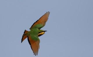 - Little Bee-eater