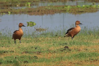 Fulvous Whistling-Duck, ML140830371