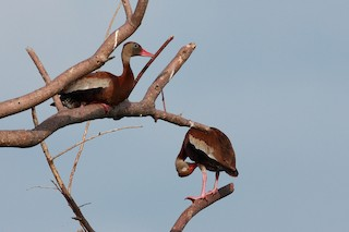 Black-bellied Whistling-Duck, ML140854101