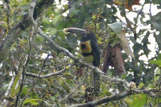 Collared Aracari (Stripe-billed)