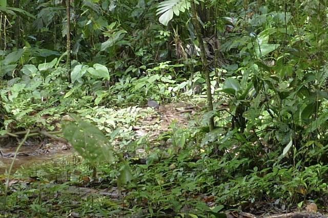 Berlepsch's Tinamou