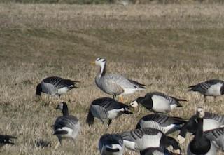 Bar-headed Goose, ML140893571