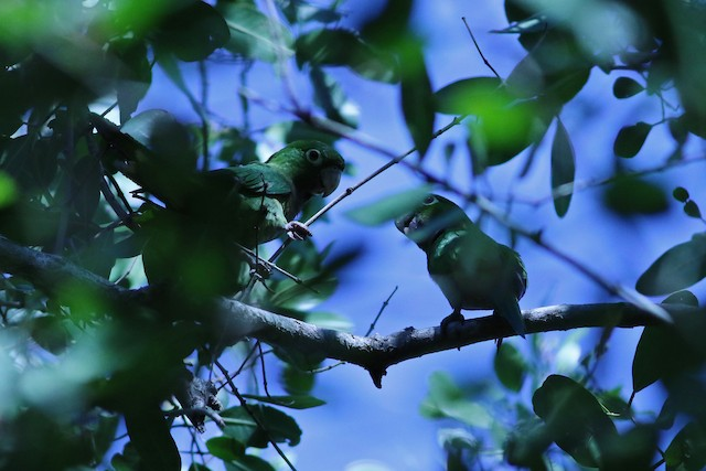 Olive-throated Parakeet (Jamaican)