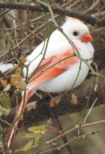 Leucistic female Northern Cardinal.
