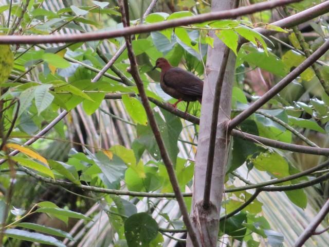 Shy Ground Dove