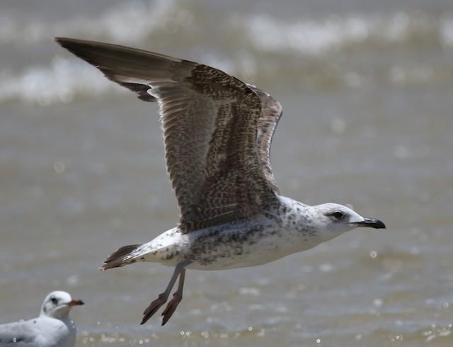 Lesser Black-backed Gull (fuscus)