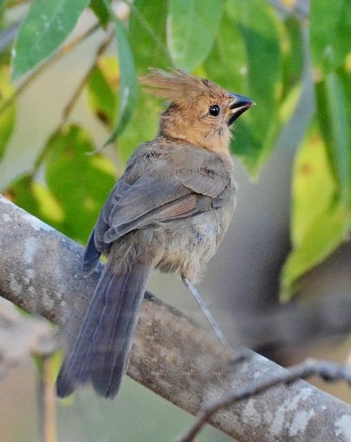 Juvenile Northern Cardinal (presumed subspecies <em>igneus</em>).