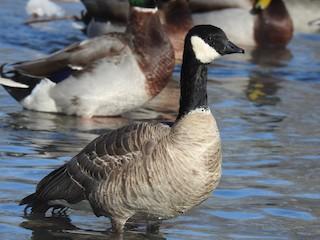 Cackling Goose, ML141406251