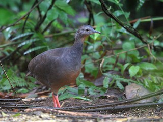 - Black-capped Tinamou
